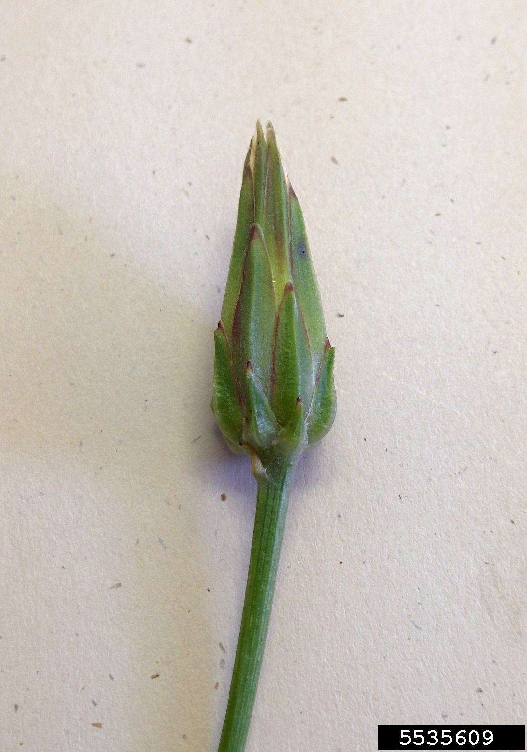 Cutleaf vipergrasss