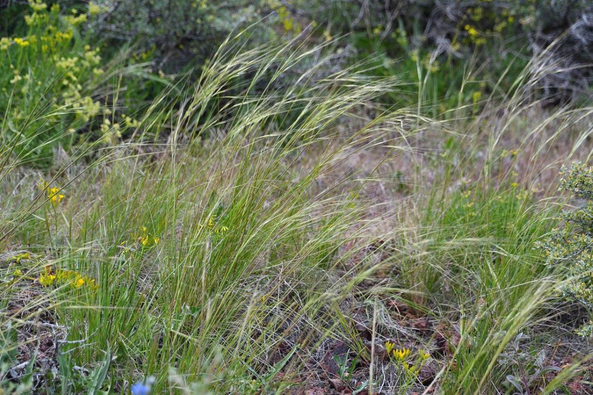 Needle and thread grass