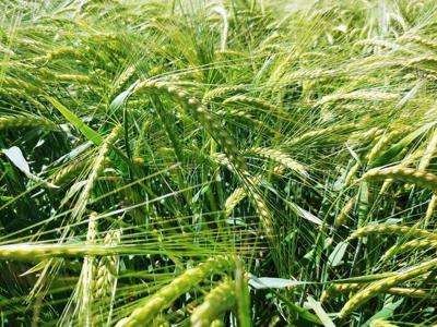 Barley State