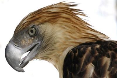 Raptors Global Decline