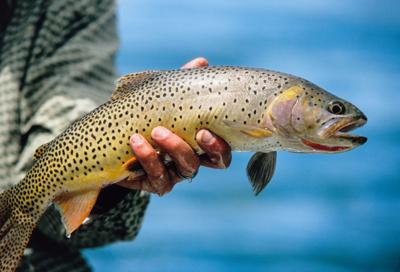 Snake River Fine-Spotted Cutthroat Trout