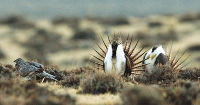 Sage grouse numbers plunge