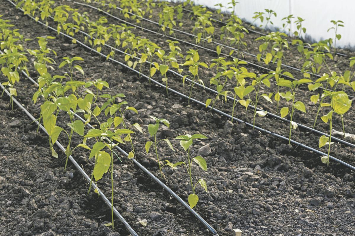 drip irrigation an option for vegetables, fruit | crops
