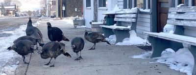 turkeys photo 11.18.jpg