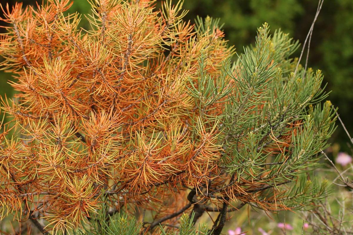Studies show Idaho's tiny pinyon pine forest shrinking