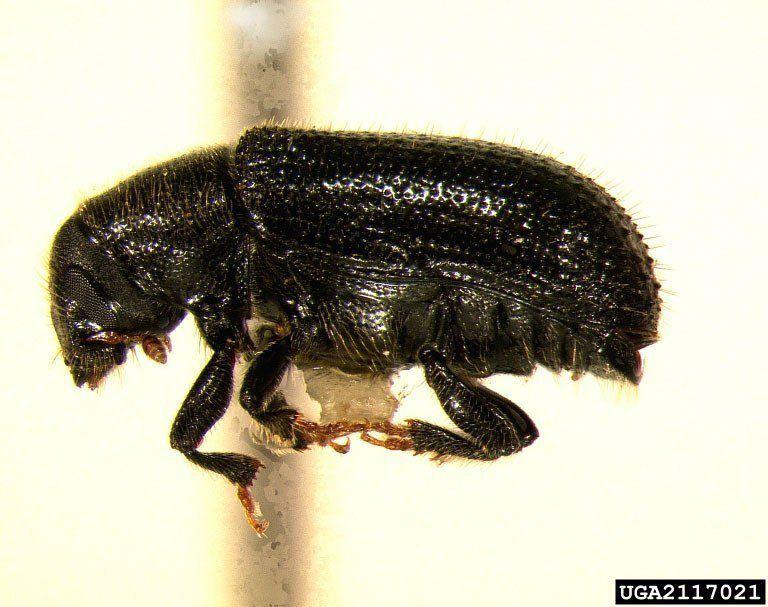 Pine shoot beetle 1