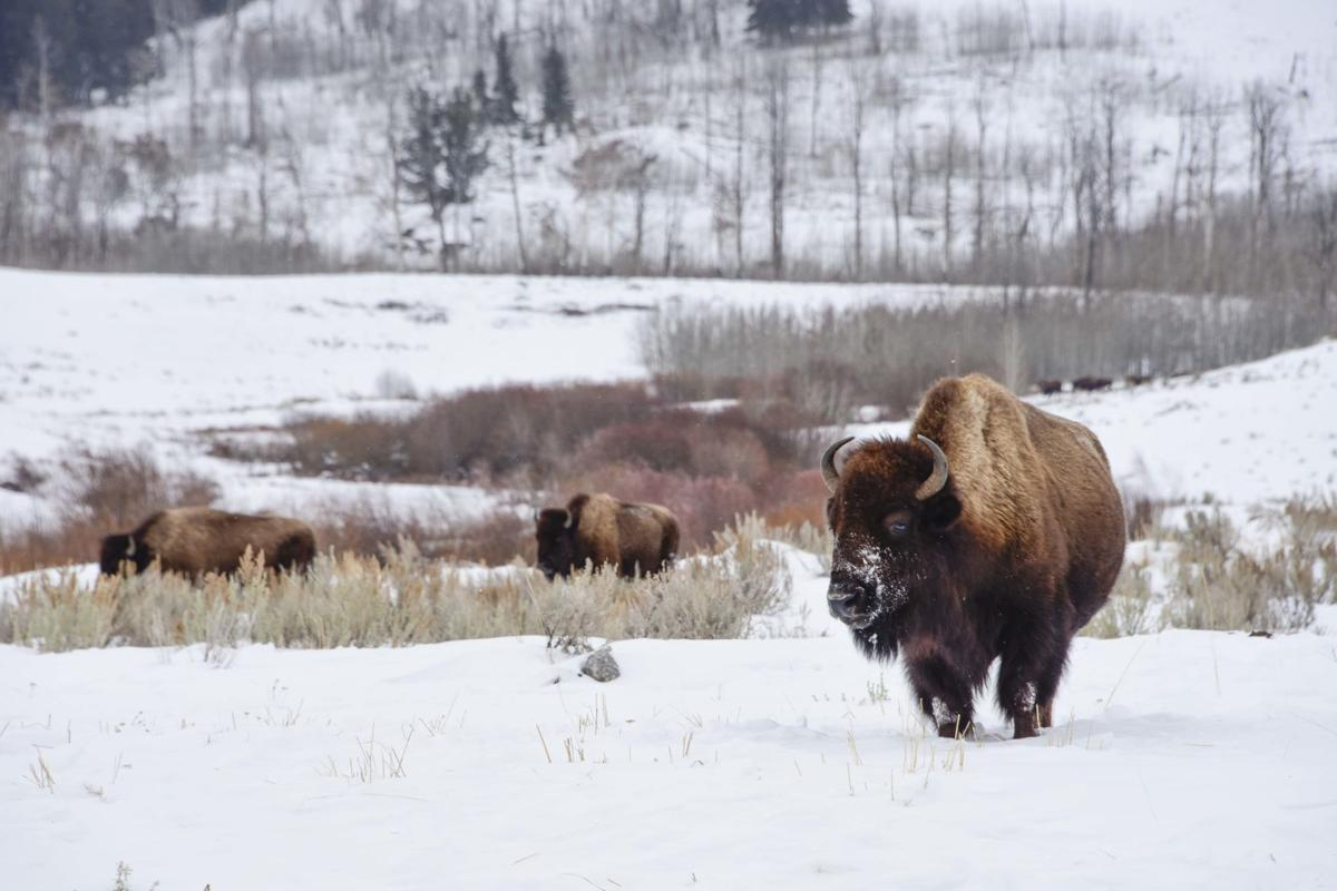 Bison tough out the winter in Lamar Valley, Yellowstone National Park, Wyoming