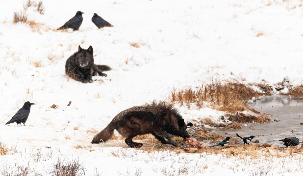 Wolf feed on a bison carcass at Blacktail Ponds