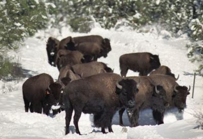 Bison (copy)
