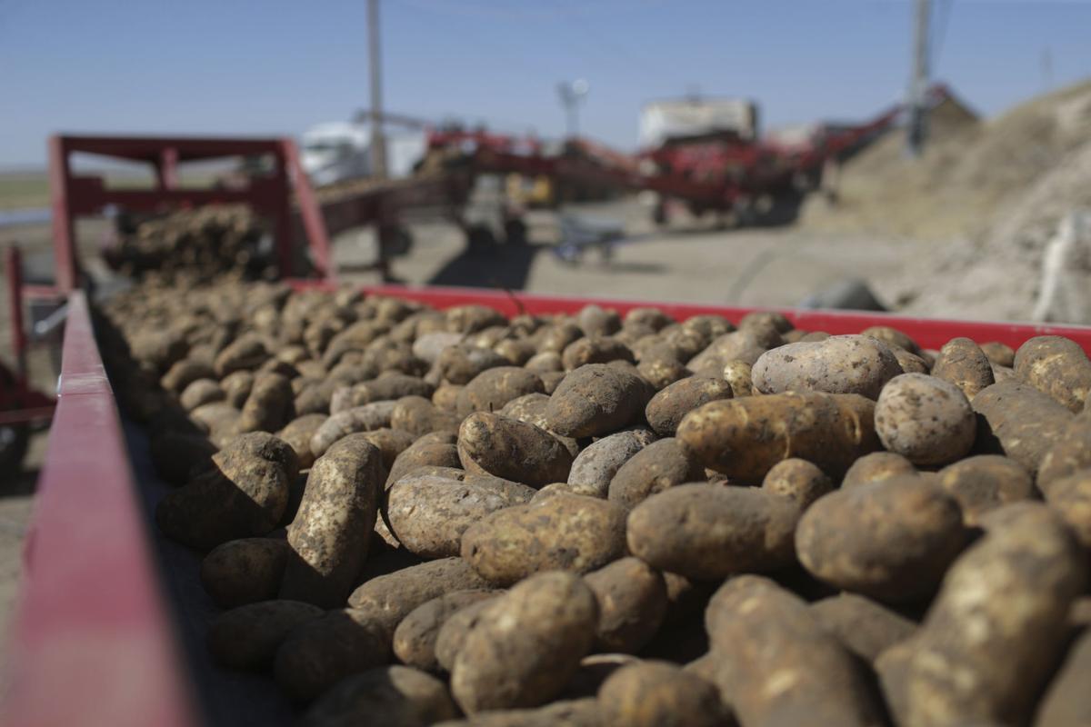 ID Potato Pest