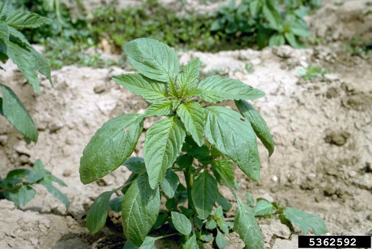 Redroot pigweed 2