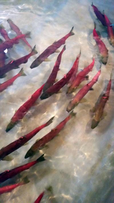 Sockeye Salmon Idaho
