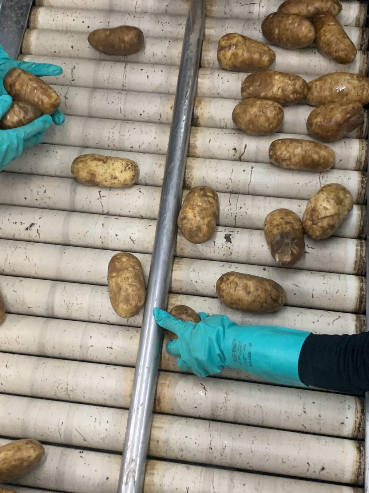 Potato conveyor