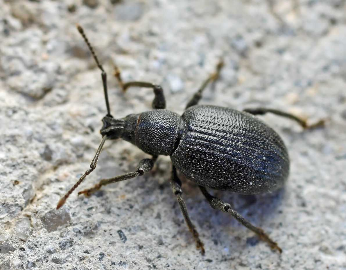 Lilac root weevil