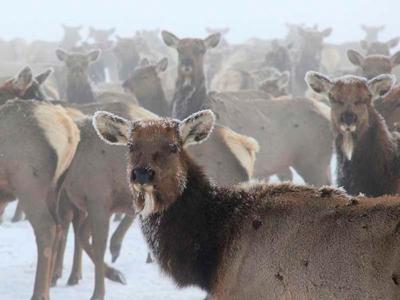Elk study