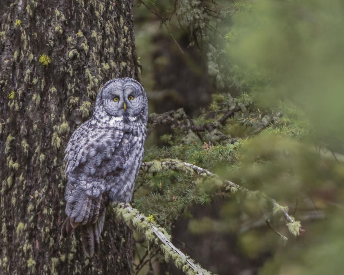 Great gray owls can be spotted in Island Park | Outdoors ...