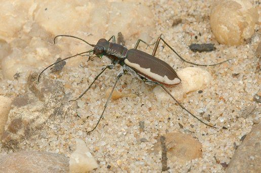 Cobbleston tiger beetle