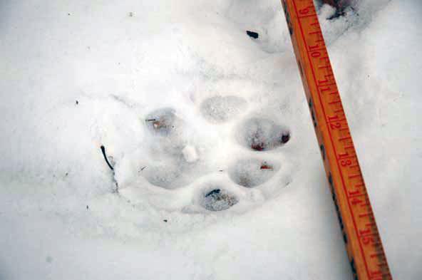 Mountain Lion paw print in Lake George