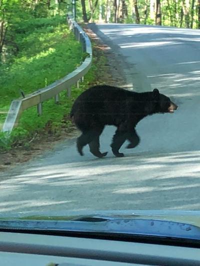 Moreau bear