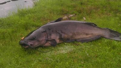 Crandall Park Pond Catfish