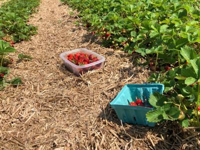 Hand Melon farm strawberries