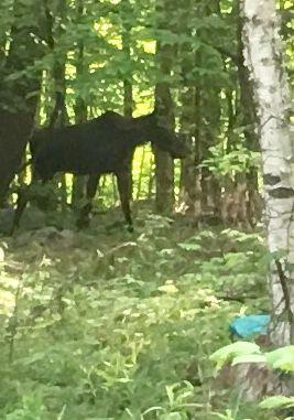 Lake George moose