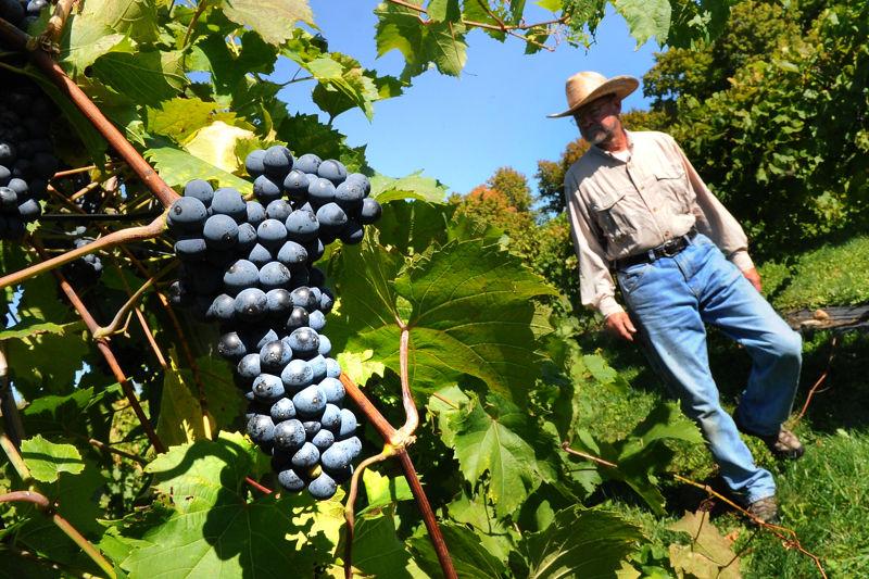 Grape Harvest SJ 03.JPG