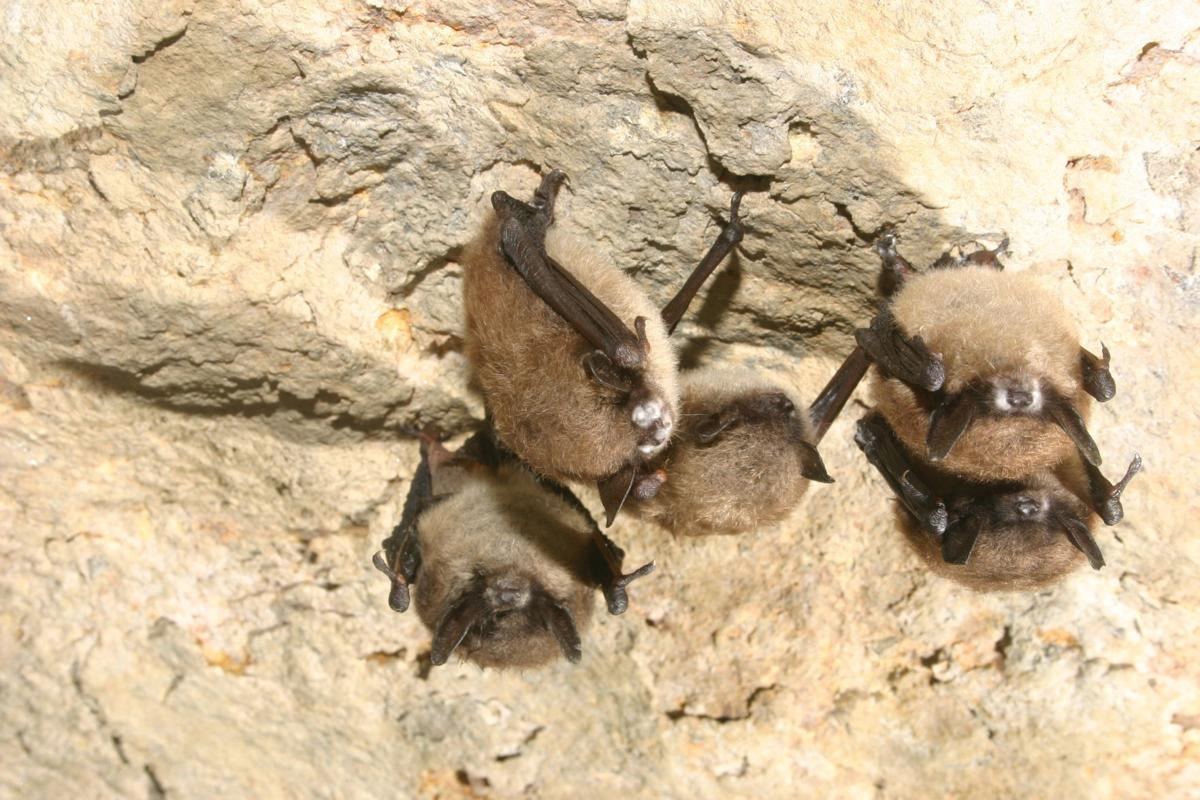 Bats and white-nose syndrome