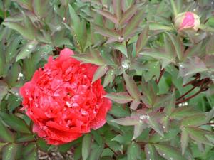Tree Paeony