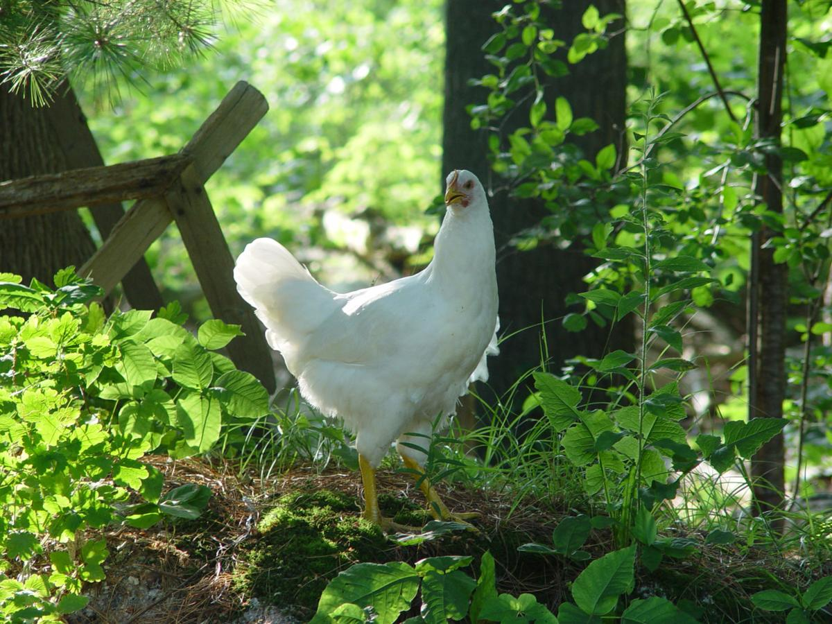 are backyard chickens for you trendy problems and a primer for