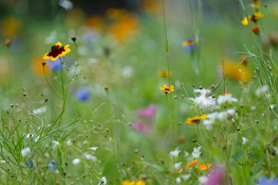 Wildflower Meadow .jpg