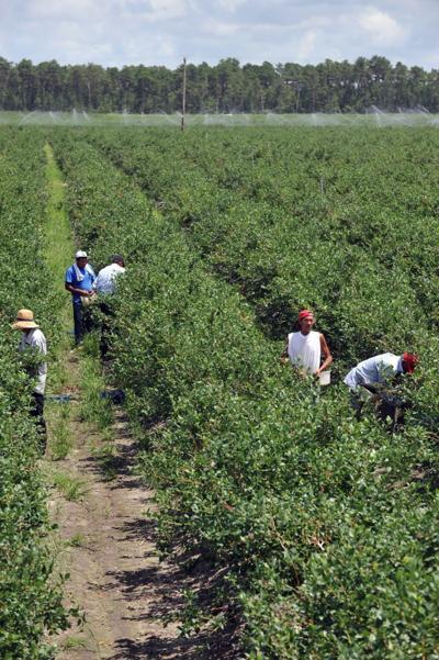 blueberry labor4822916.jpg