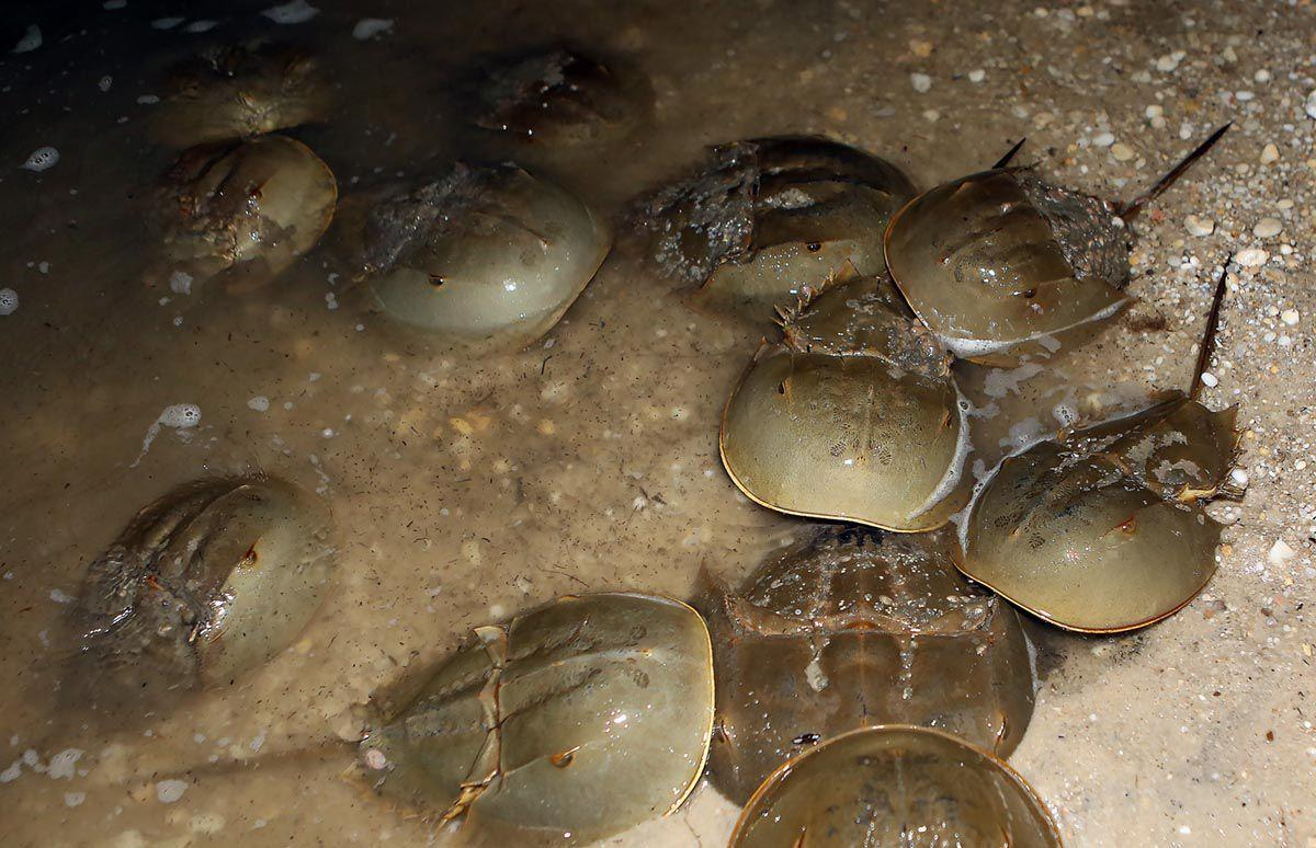 Horseshoe Crabs Moonlighting