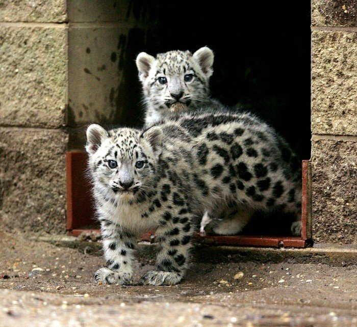 Baby Snow Leopards Ready For Company At Cape May County Zoo