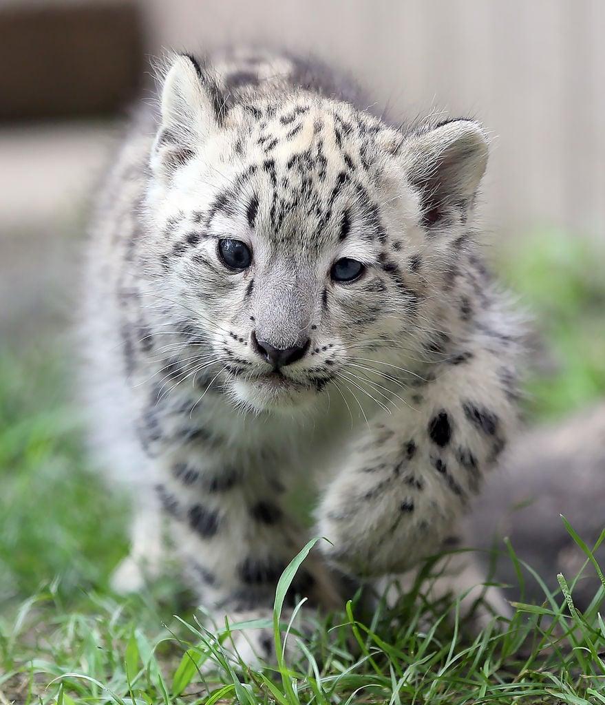 Snow Leopards Cape Zoo
