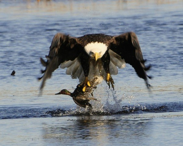Nj Environment News Bald Eagle