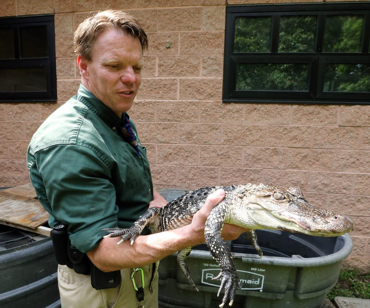 AC Alligator Rescued