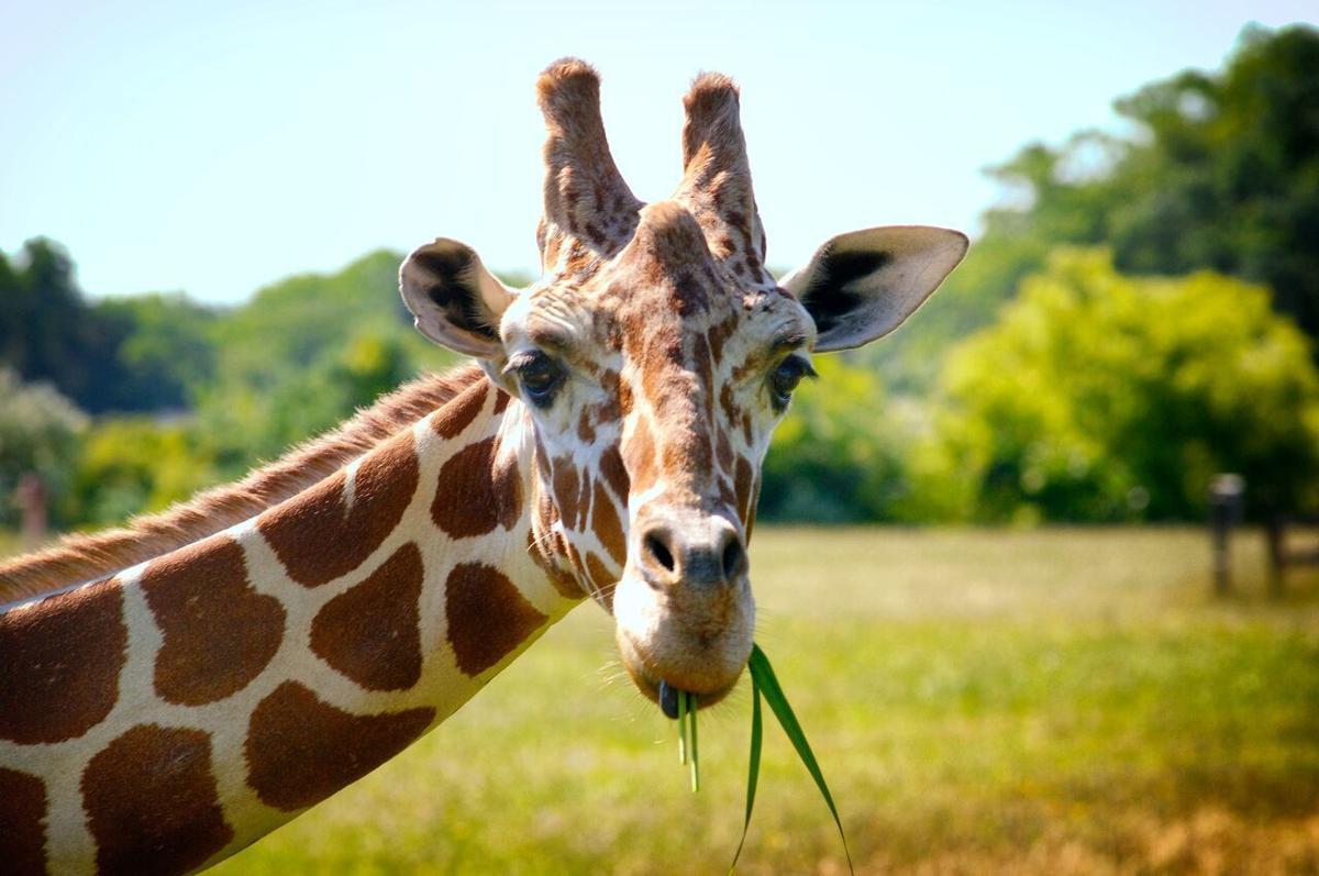 Zoo Giraffe.jpg