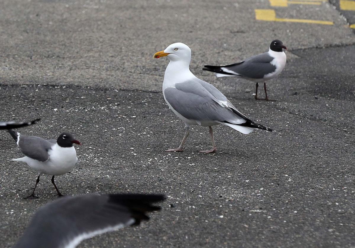Rats of the sky? That's not how seagull enthusiasts see