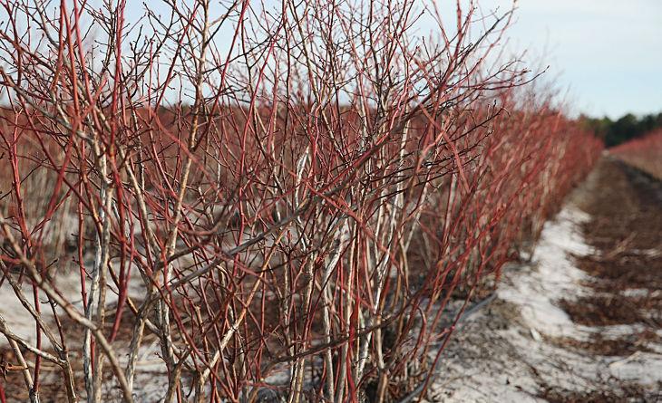 Growing Blueberries A Year Round Effort In Hammonton