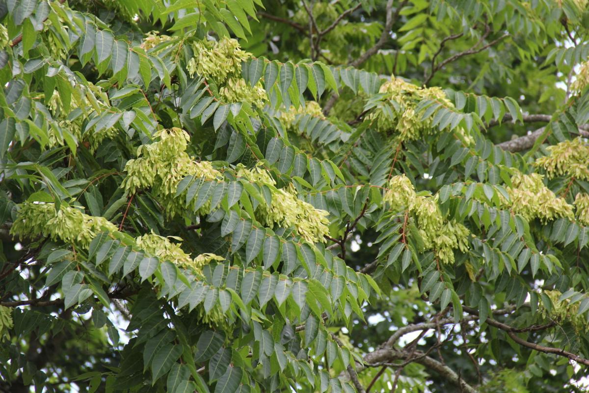 tree of heaven flowers.JPG