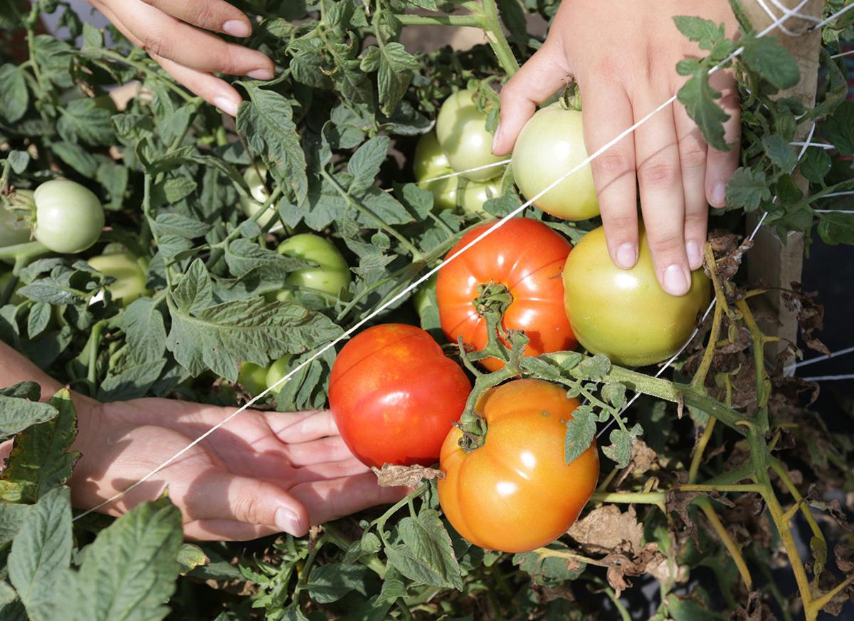 new jersey tomato gets boost from rutgers breaking news