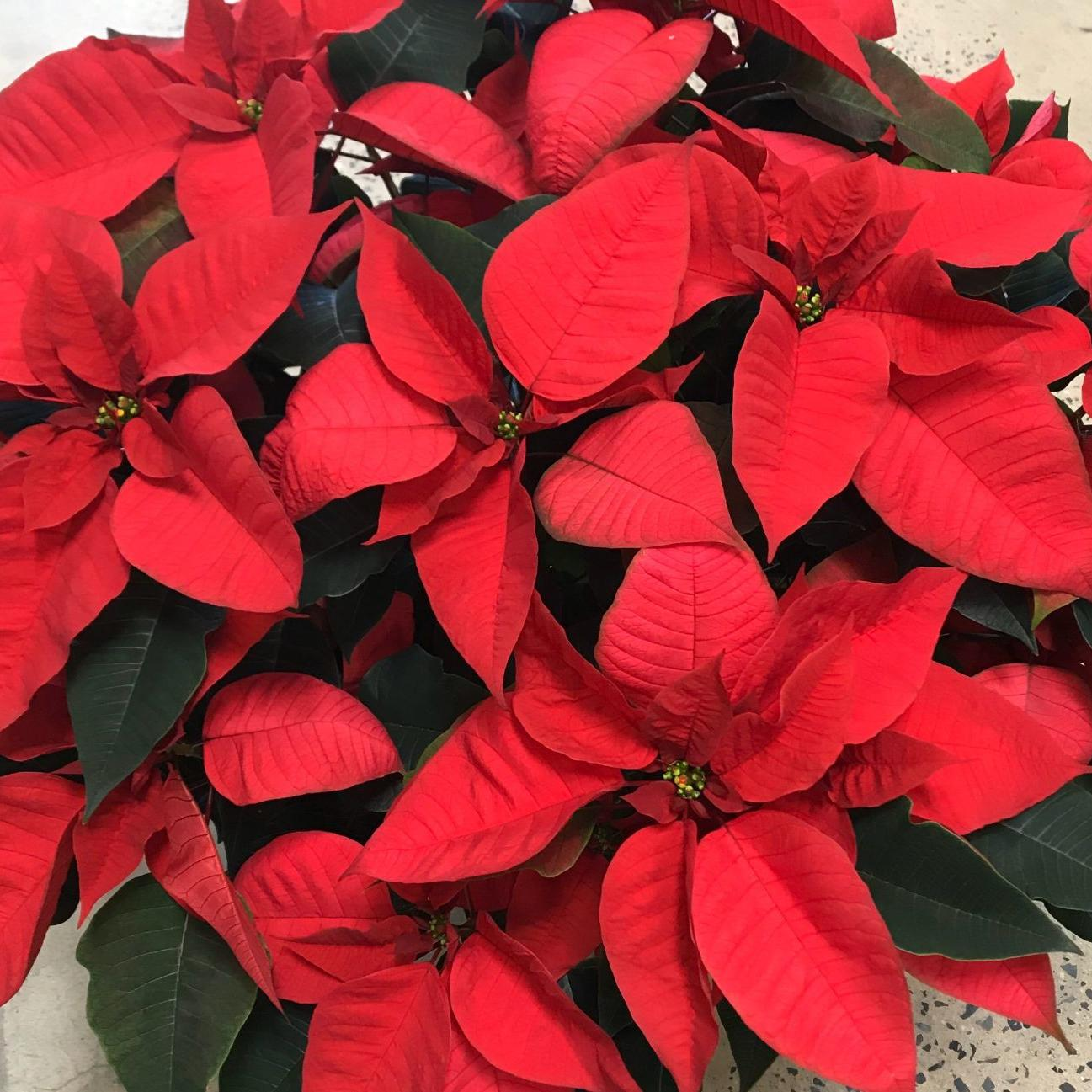 Getting Poinsettia To Bloom Again Requires Year Round Care