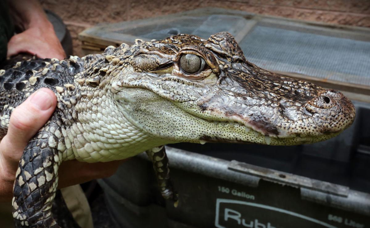 AC Alligator Rescued