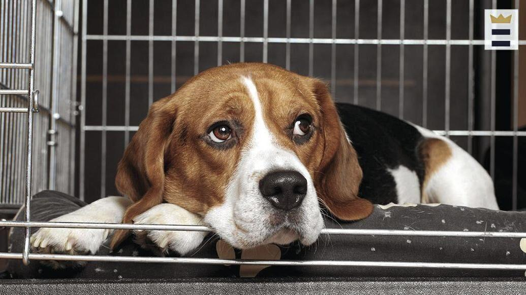 Crate expectations: Training helps dogs with separation anxiety