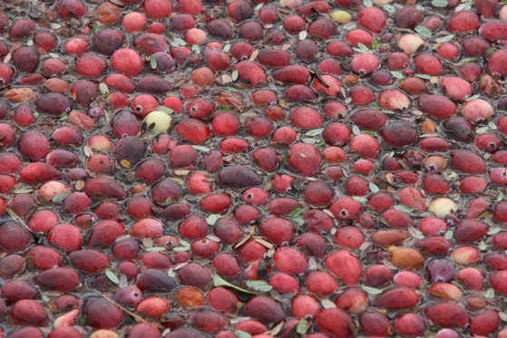 A cran-tastic year for local growers