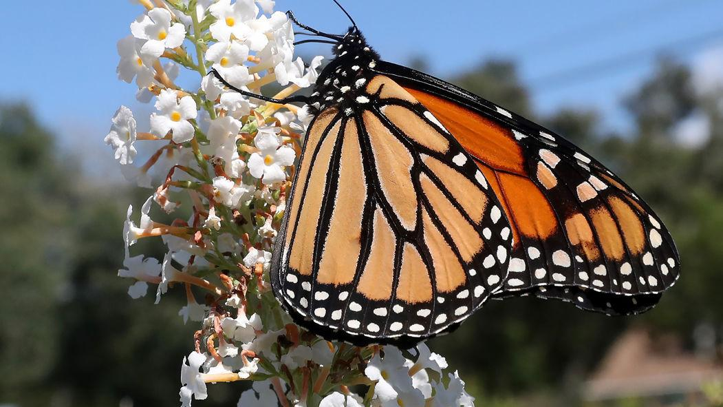 Monarch Butterfly Census Cape May