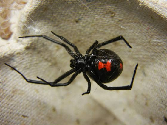 Green Thumbs: Seal off home, remove clutter to prevent black widow spiders