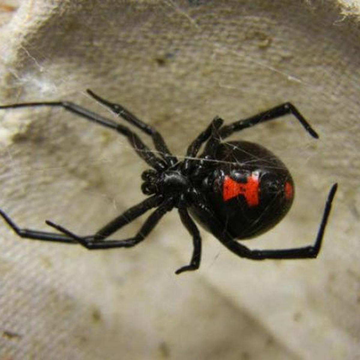 Green Thumbs: Seal off home, remove clutter to prevent black widow spiders  | Lifestyles | pressofatlanticcity.com