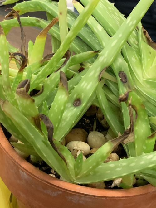 aloe plant with brown spot
